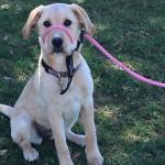 Bailey. a Peek'n Puppy Graduate