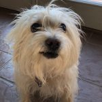 Bella, Peek'n Puppy graduate