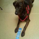 Duncan, a Canine Good Citizen graduate
