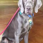 Indigo, a Peek'n Puppy graduate