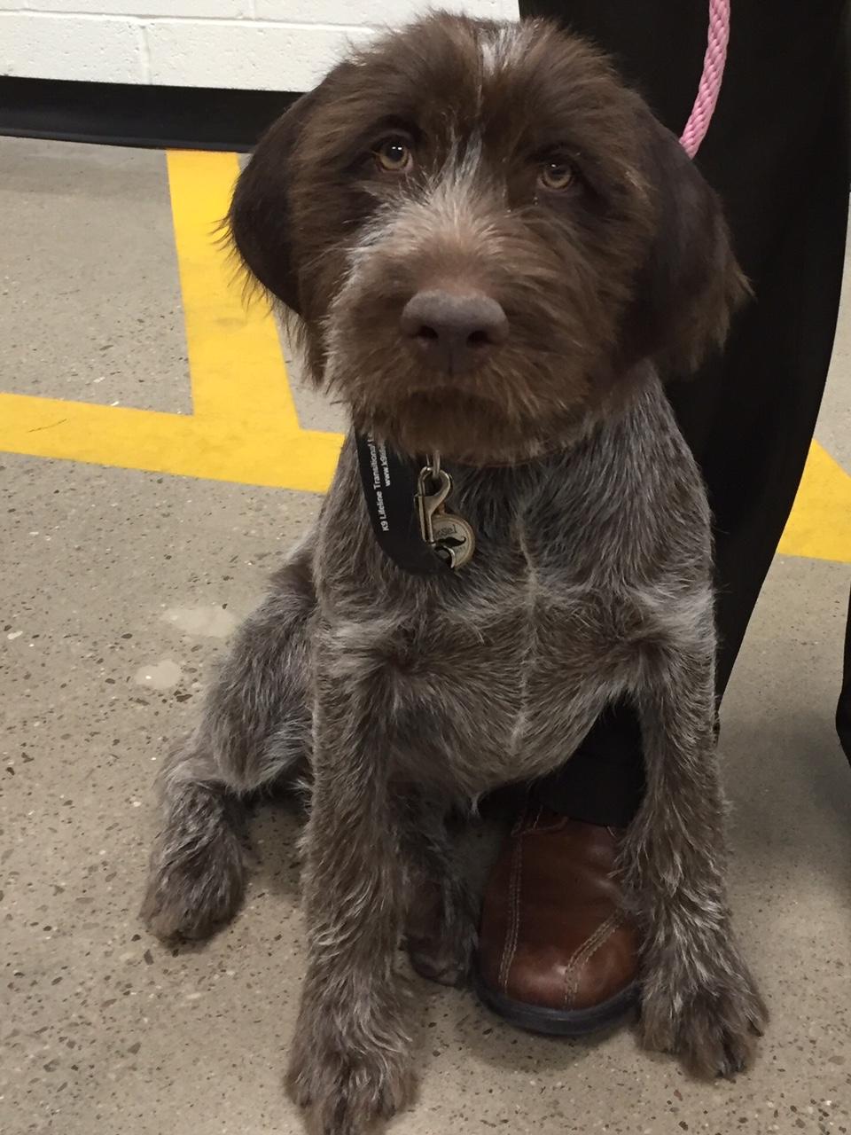 Oksel, AKC S.T.A.R. Puppy