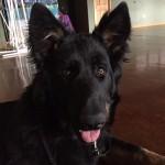 Amma, a Peek'n Puppy Graduate