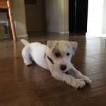 Jemma, a Peek'n Puppy graduate