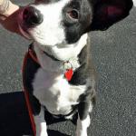 Mila, AKC S.T.A.R. Puppy