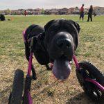 Ruby, Peek'n Puppy graduate