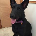 Shadow, Service Dog Graduate