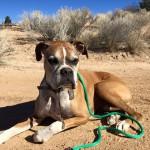 Tucker, a Peek'n Puppy Graduate