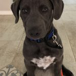 """Zephyer, Peek'n Puppy graduate. """" Fantastic job helping me establish appropriate boundaries with my puppy before behaviors get out of hand. Understanding his mindset is really valuable for me maintaining consistency. Thanks! """" - Leigh C., Albuquerque, NM"""