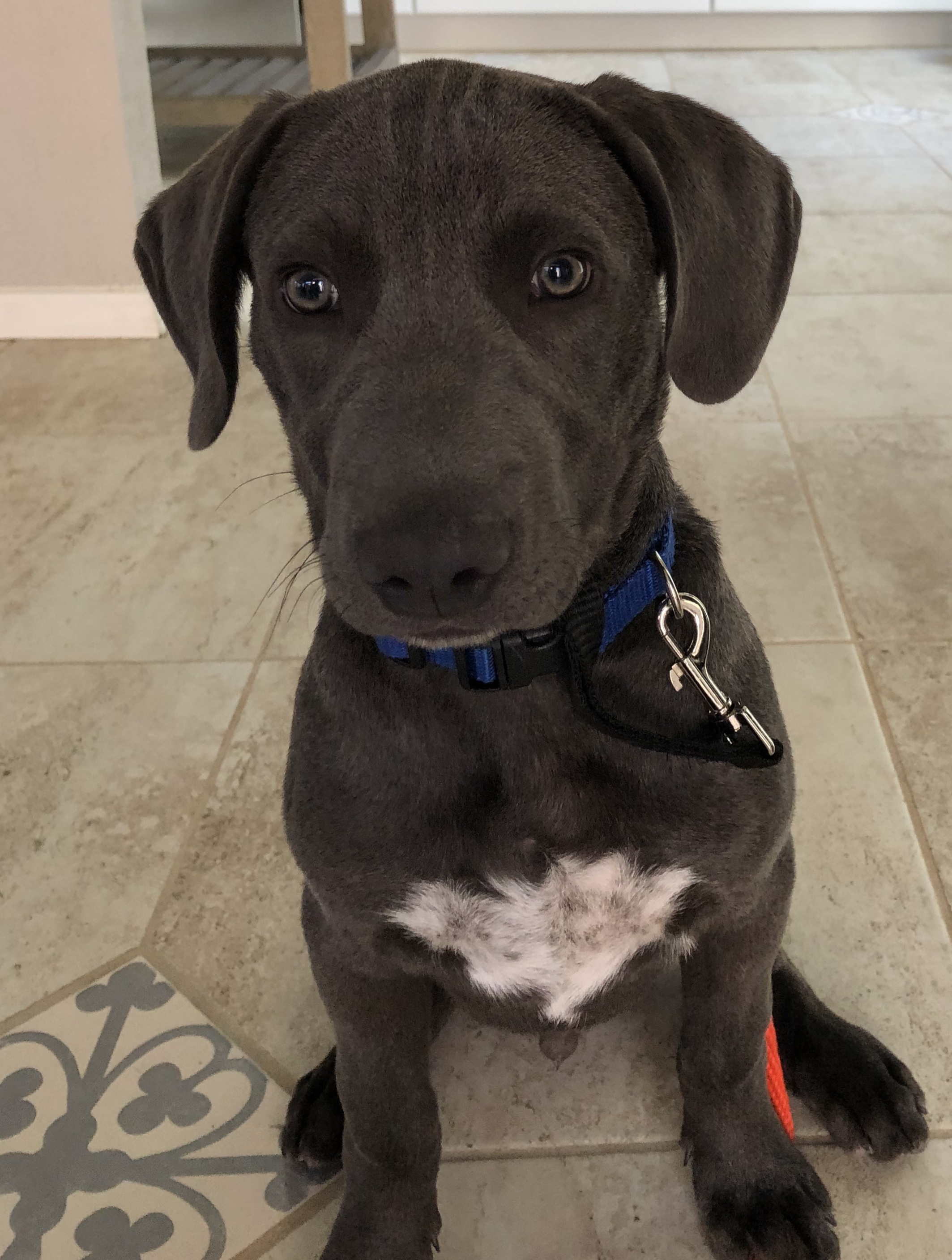 "Zephyer, Peek'n Puppy graduate. "" Fantastic job helping me establish appropriate boundaries with my puppy before behaviors get out of hand. Understanding his mindset is really valuable for me maintaining consistency. Thanks! "" - Leigh C., Albuquerque, NM"